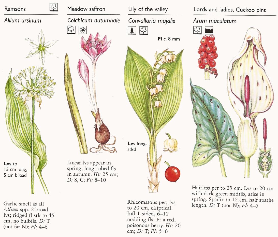 20 Plants Allium ursinum Wild Garlic